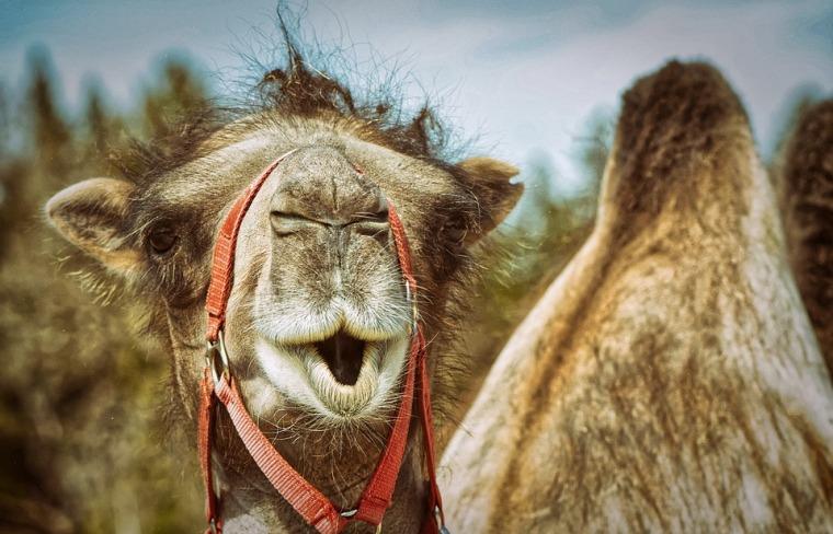 camel-4581951_960_720